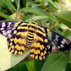 False Tiger Moth (♀)