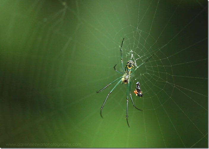 green spider on web with insect carcass - photo by Megan Zwart for adrienneinohio.blogspot.com