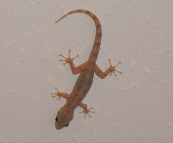 U S Lizard Common House Ge...
