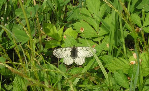 Parnassius stubbendorfii standfussi BRYK, 1912, mâle. Tigrovoy, 21 juin 2011. Photo : J. MIchel