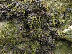 jelly lichen