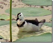 152 Cotton Pygmy Goose ( Hans )