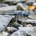 Slender Blue Skimmer?