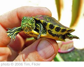 'Baby Turtle' photo (c) 2006, Tim - license: http://creativecommons.org/licenses/by-nd/2.0/