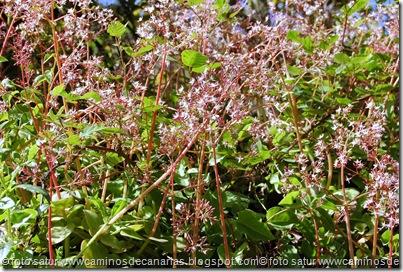 0220 C.Tejeda-Moya(Crásula rosada)