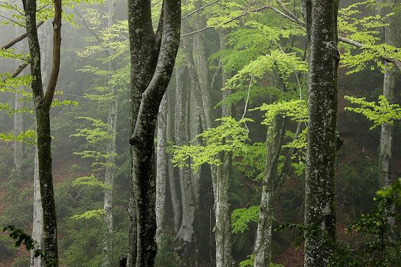 """El bosc de la Grevolosa (el nom ve del català boix grèvol, """"grèvol"""" en castellà (Ilex aquifolium) es troba en una vall de la serra dels Llancers, del Prepirineu català, entre les serres de Curull, San Miguel i Cabrera i al sud del cim de Puigsacalm (1515 m), en el massís de Collsacabra. El bosc, d'unes poques hectàrees i a una altitud mitjana d'1.000 metres, posseeix un gran nombre de fajos centenaris d'una grandària que aconsegueix els quaranta metres d'altura gràcies al microclima i a l'aïllament de la tancada vall. Es tracta d'un lloc recòndit, al que només es pot accedir a peu des del nord per la collada de Bracons, venint de Sant Andreu de la Vola o de Joanetes, o pel sud, des de la ermita de Sant Nazario (documentada des de 1382, d'estil barroc), a la qual s'accedeix per una sendera des de Sant Andreu de la Vola. Sant Pere de Torelló, Osona, BarcelonaEl bosc pertany actualment al PEIN (Pla d'Espais d'Interès Natural de Catalunya) serres de Milany-Santa Magdalena i Puigsacalm-Bellmunt i Savassona."""