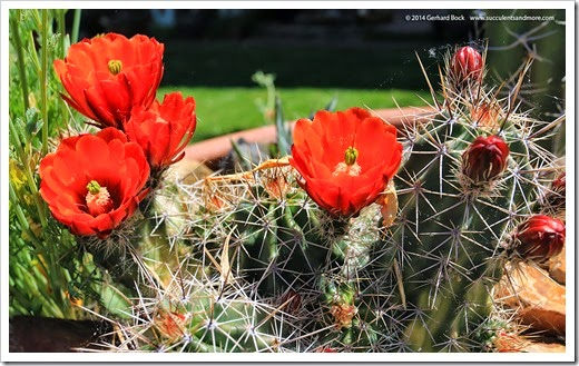 140414_claret-cup- -poppy-bowl_021