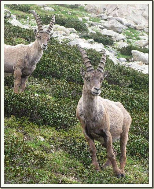 The Curious Brothers - two ibex in the Maritime Alps