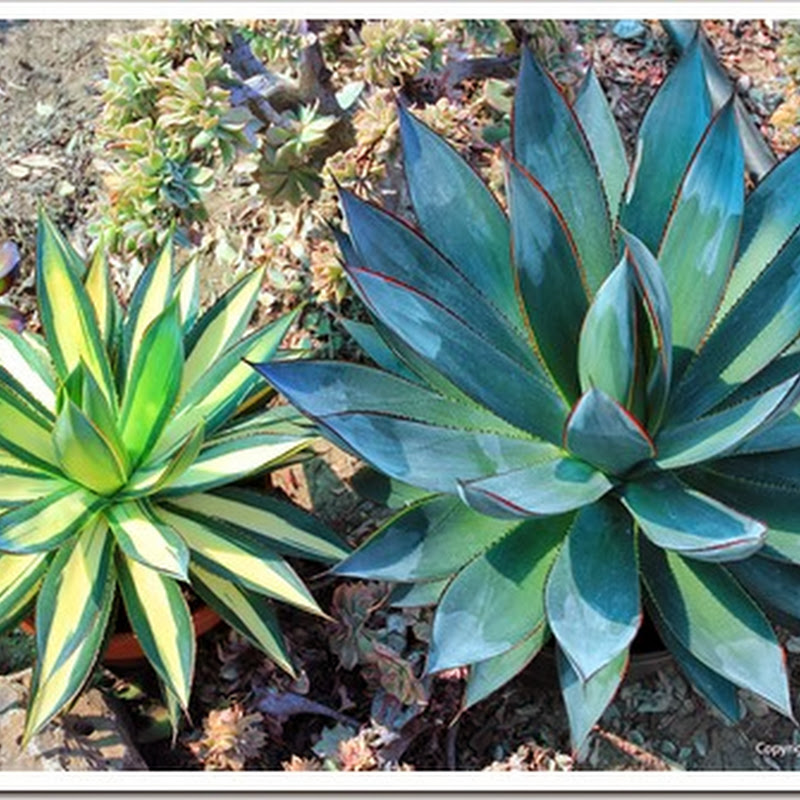 Succulents And More Coring Agaves For Propagation
