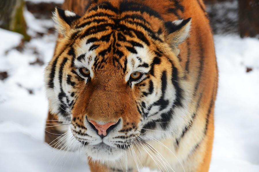 by Metka Majcen - Animals Lions, Tigers & Big Cats (  )