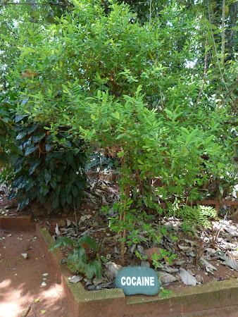 Arbore de coca
