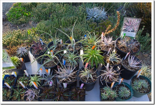 121013_RBG_fall_sale_dyckia-table