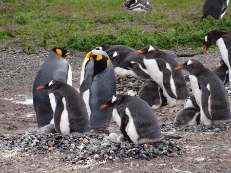 Tara de Foc: Pinguini regali
