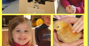Backyard Chickens 101: Caring for Baby Chickens