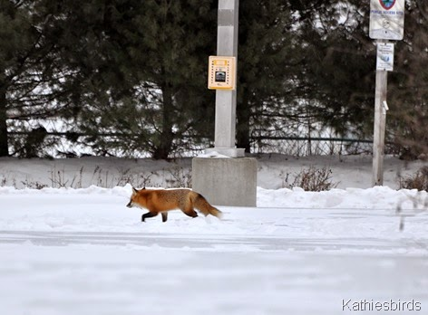 14. 1-11-15 fox at the boat launch-kab