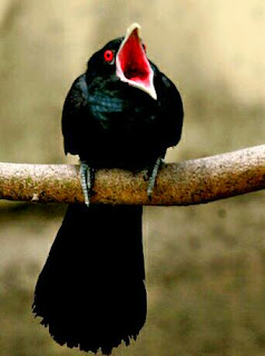 suara burung tuwu