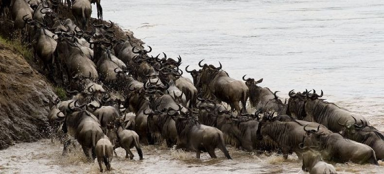 mara-river-crossing-13