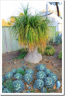 131004_RBG_Fall_Beaucarnea-recurvata_05