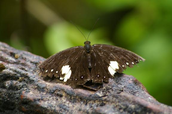 Neorina lowii lowii DOUBLEDAY, 1849. Poring (Sabah, Malaisie), 31 juillet 2011. Photo : J.-M. Gayma