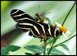 05 - Baynard Trail - Zebra Longwing Butterfly