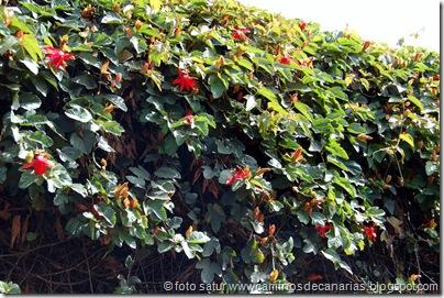 3995 S. Brígida-Jinamar(Passiflora vitifolia)
