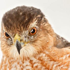 Backyard Cooper's Hawk by Herb Houghton - Animals Birds ( herbhoughton.com )