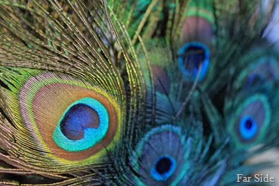 Peacock feathers so pretty