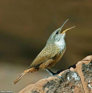 suara burung wren