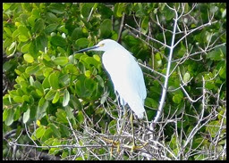 00g3 - Animals - Snowy Egret