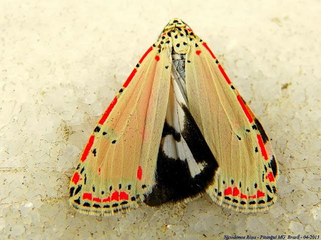 Arctiidae : Arctiinae : Utetheisa ornatrix (L., 1758). Pitangui (MG, Brésil), 11 avril 2013. Photo : Nicodemos Rosa