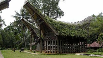 La casa tradicional de Tana Toraja es el Tongkonan. Cada familia tiene la suya. La cubierta parece inspirada en los cuernos del búfalo, animal venerado aquí.