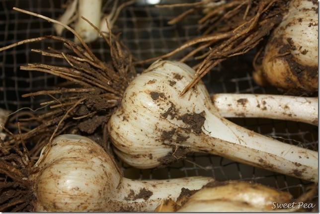 Garlic4