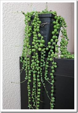 Succulents And More String Of Pearls Senecio Rowleyanus