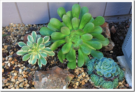 130126_Aeoniums-in-backyard_01