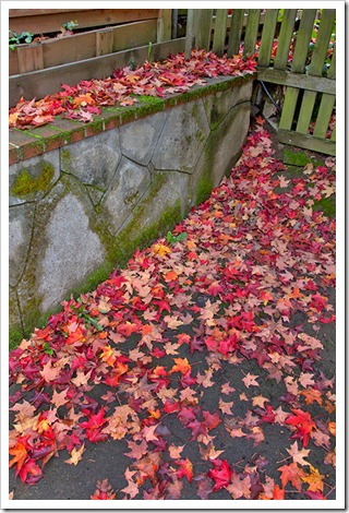 111104_maple_leaves