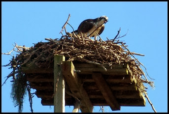 03c - E.G. Simmons - Wildlife - Osprey