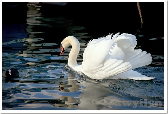Swan at Lake Geneve