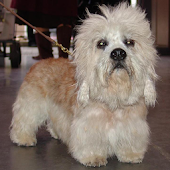 Dandie Dinmont Terrier Wallpap