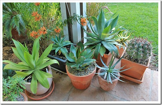 120630_agaves_on_front_porch2