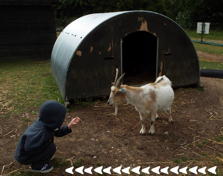 ethan saying hello to a goat at aldingbourne country centre