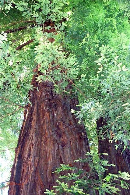 sequoia sempreverde.jpg