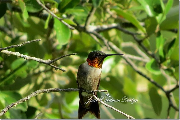 Ruby-throated_Hummingbird2
