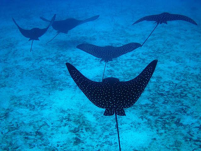 Mantas, al fondo, anguilas de arena ©Merche Sanz