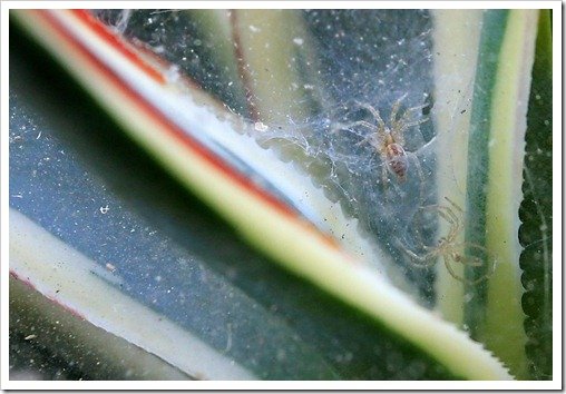 130524_spider-on-Agave-Snow-Glow