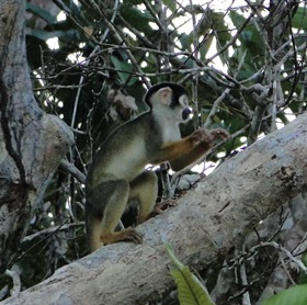 Macaco de cheiro da cara preta