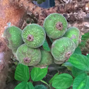 Elephant Ear Fig Tree