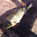 Rabbit fish, smooth puffer