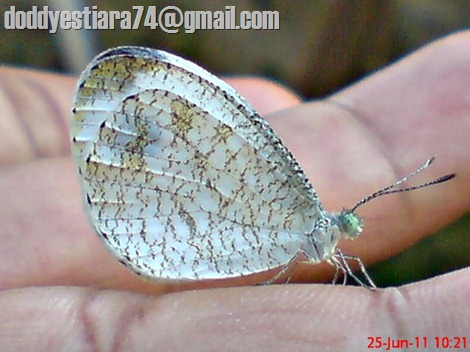 Leptosia nina - Psyche, Black-spotted White 02