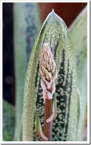 120308_Gasteria-Little-Warty_02