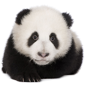 Panda chub live wallpaper